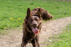 Benni running - Dog Days Dog Daycare & Boarding St Paul