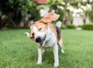 dog ear flapping-Dog Days Daycare & Boarding St. Paul-Ear infections