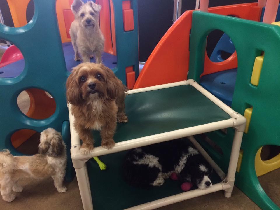St. Paul dog daycare small dog play Dog Days University Ave (Capitol)
